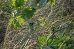 Reuzenberenklauw