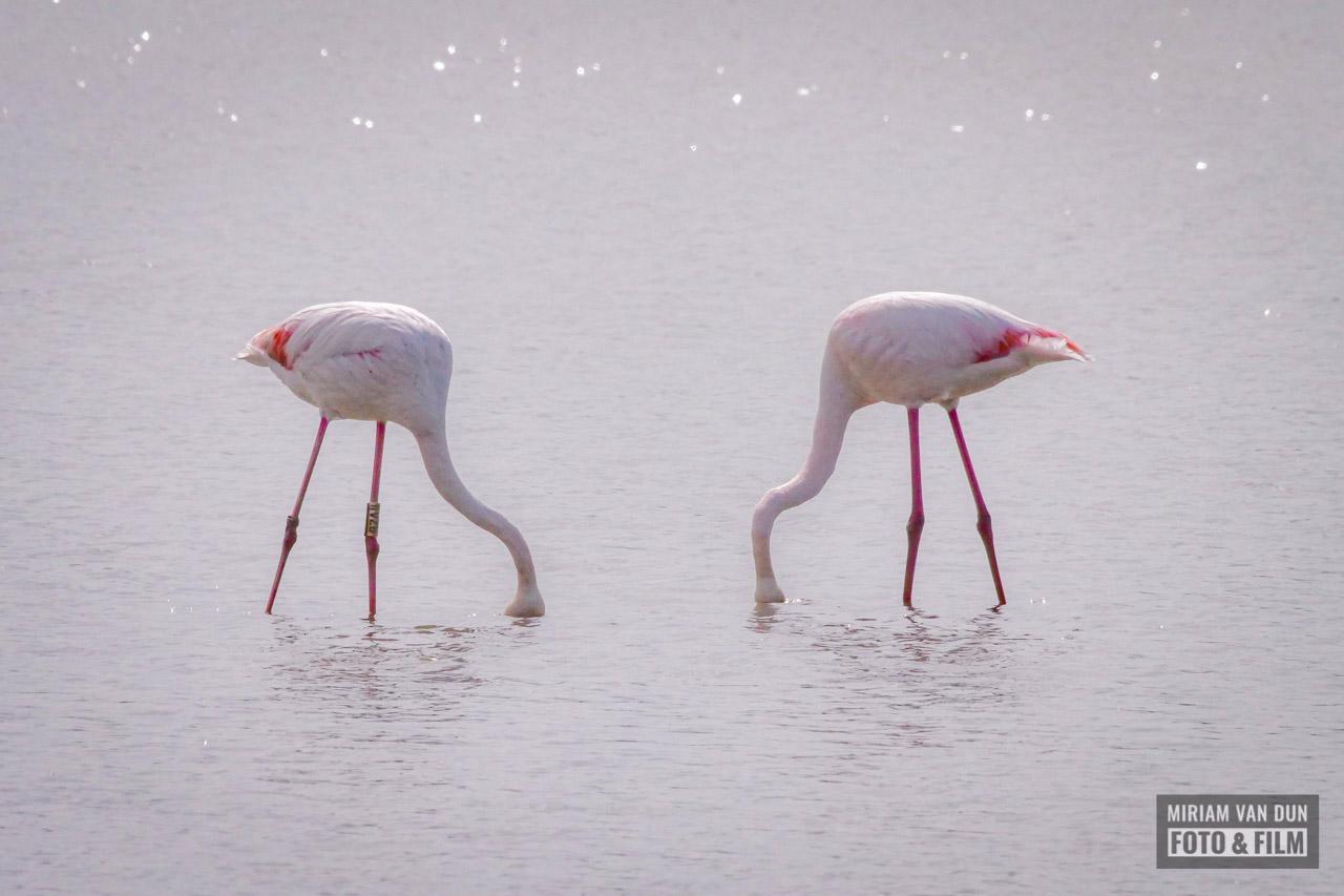 Flamingo's in De Kleine Polder van IJdoorn
