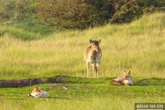 Hert met vossen