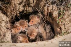 hol met 5 jonge vosjes