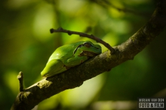 Groene boomkikker