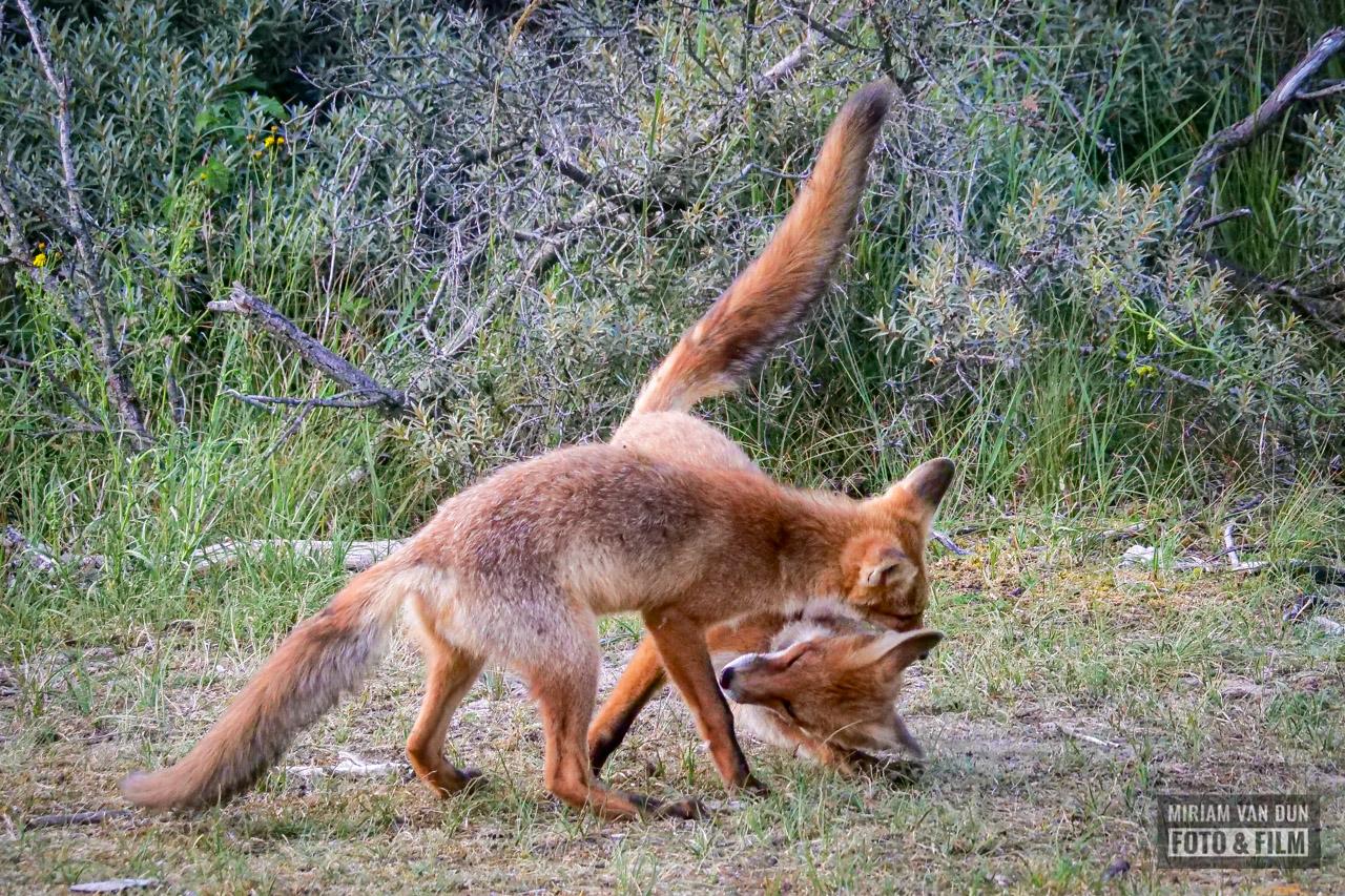 Spelende vosjes