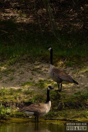 Canadese grote gans