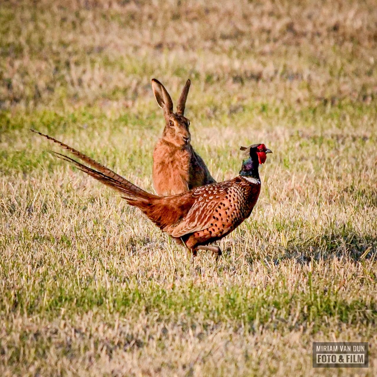 Haas en fazant