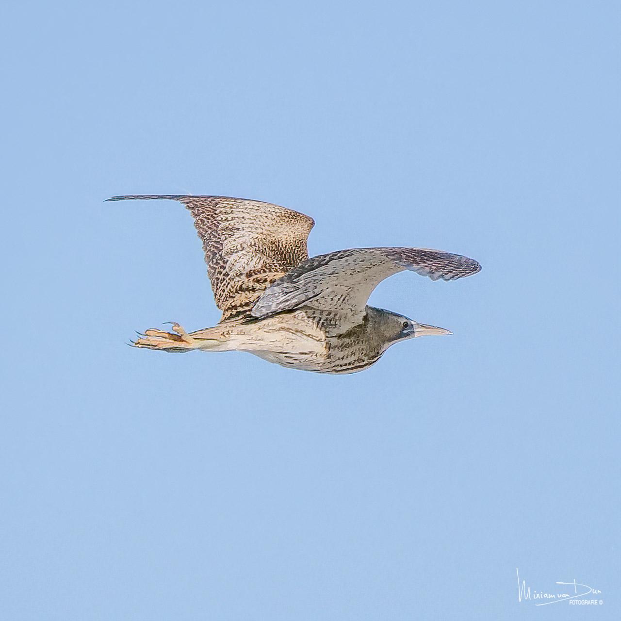 Vliegende roerdomp